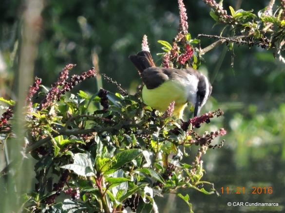 Bichofué alimentándose de los frutos del Laurel de cera